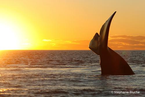 La baleine Franche Australe photographiée par Air Pur Studio